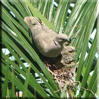 Dove and hatchlings