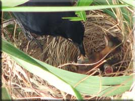 Blackbird and three fledglings