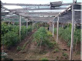 Rasta farm