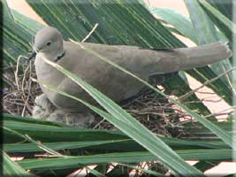 Ring-necked Dove