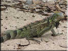 Iguana at Karakter